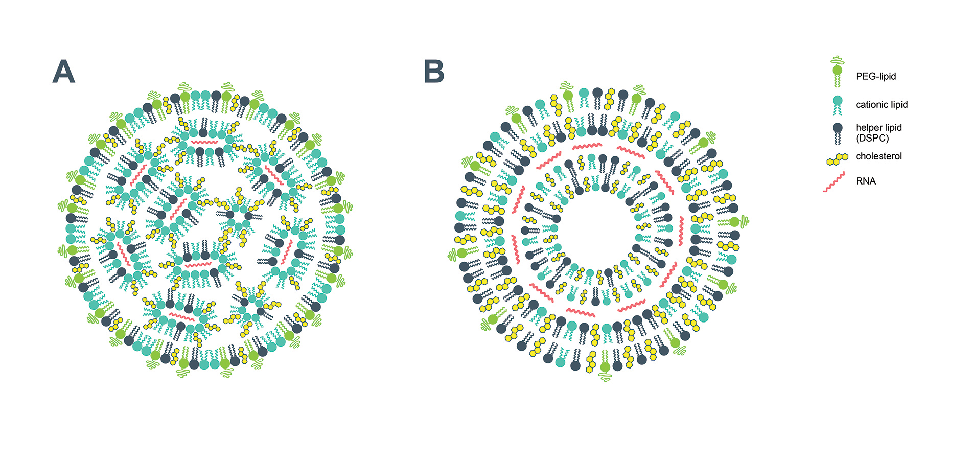 Suggested structures of lipid nanoparticle vaccine carriers