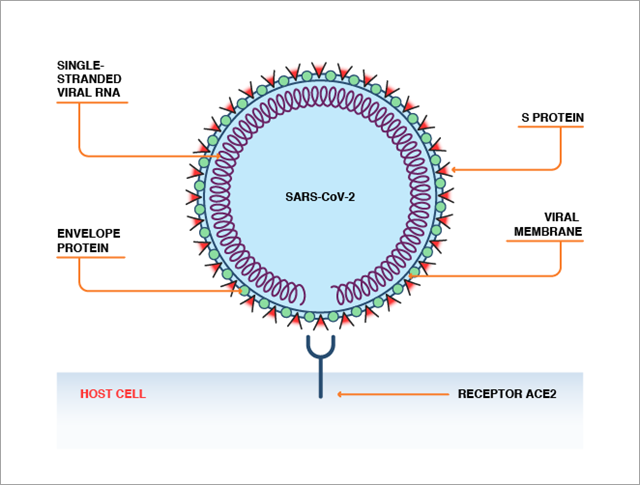 coronavirus protein interaction